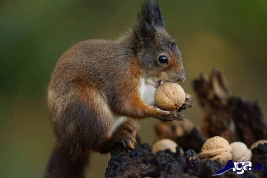 عکس گردو خوردن سنجاب