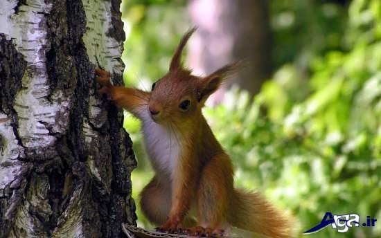 عکس سنجاب در جنگل