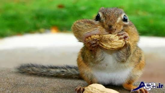 بادام خوردن سنجاب های بامزه