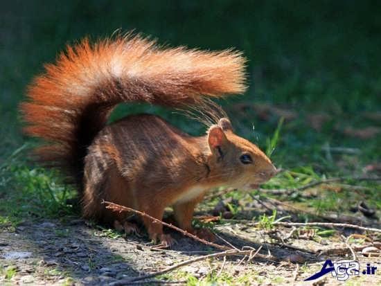 عکس های سنجاب ایرانی