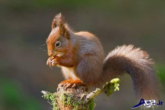 عکس زیبای سنجاب ایرانی