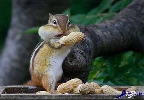 عکس غذاخوردن سنجاب