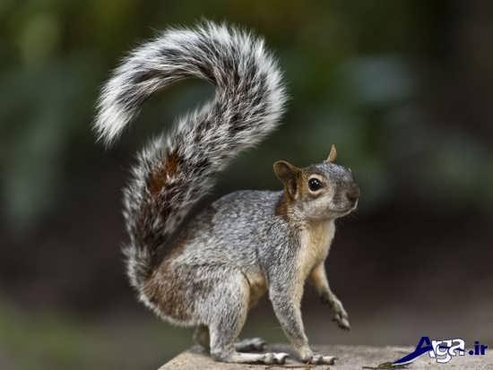 عکس زیبای سنجاب در طبیعت