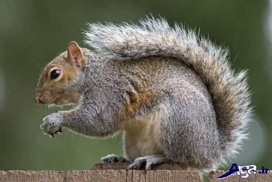 عکس های سنجاب در طبیعت