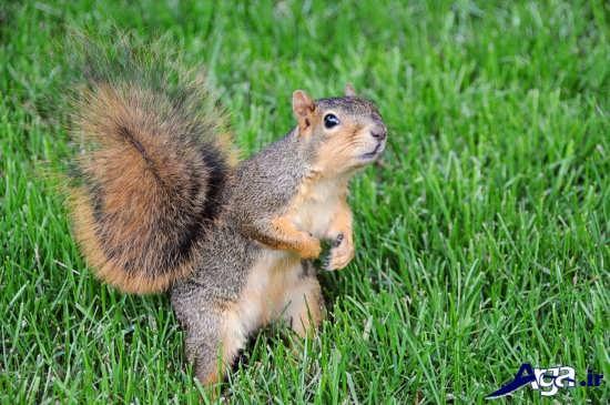 سنجاب خانگی زیبا