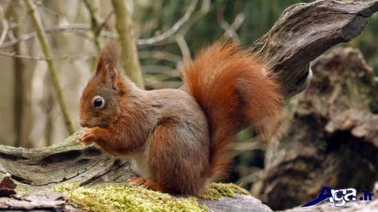 عکس با مزه سنجاب