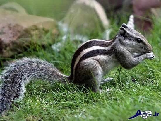 عکس های سنجاب ایرانی بامزه