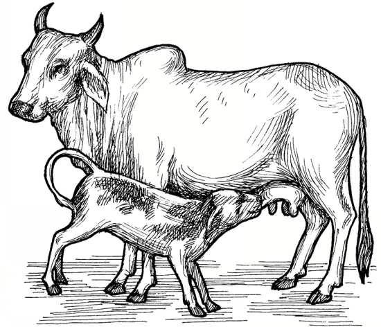 نقاشی کودک گاو در حال شیر خوردن
