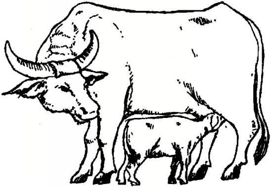 گاو زیبا و نقاشی او