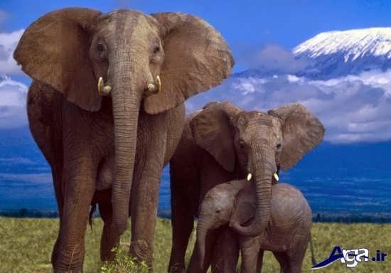 تصاویر فیل های تنومند