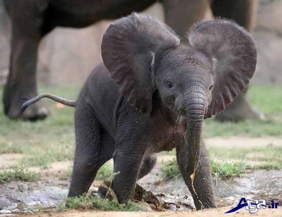 عکس بچه فیل