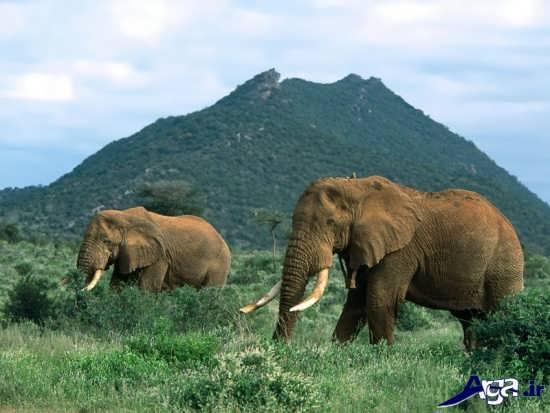 عکس باکیفی ت فیل آفریقایی