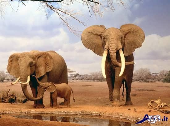 عکس هیا فیل تنومند