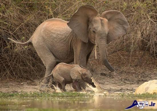 عکس بچه فیل و مادرش