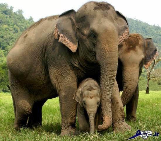 تصاویر فیل های قوی