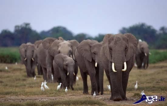 عکس دسته جمعی فیل ها