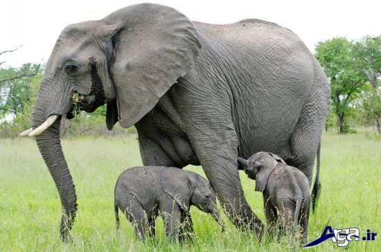 عکس بچه فیل ها با فیل مادر
