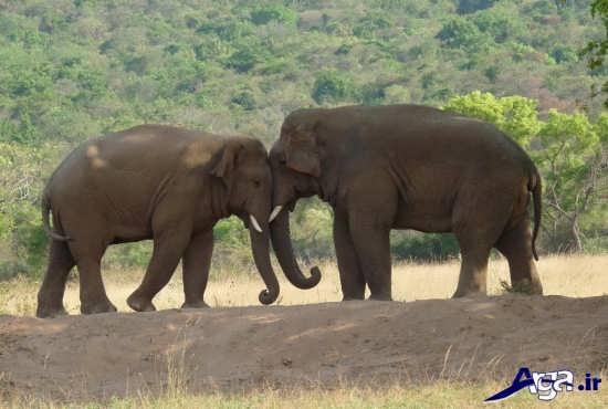 عکس جفت گیری فیل ها