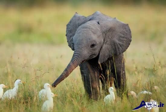 تصاویر نوزاد فیل