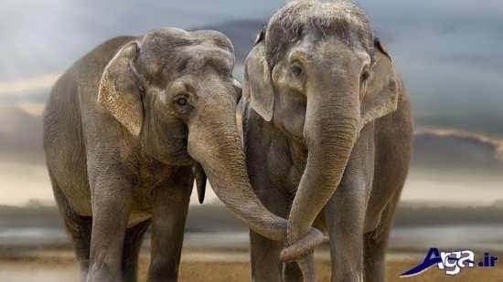 تصاویر فیل های نر و ماده