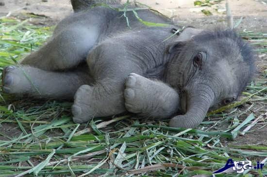 عکس نوزاد فیل