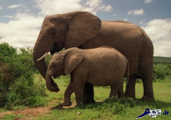 عکس فیل های بزرگ