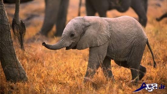 عکس فیل بزرگ