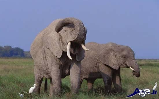 تصاویر فیل نر و ماده