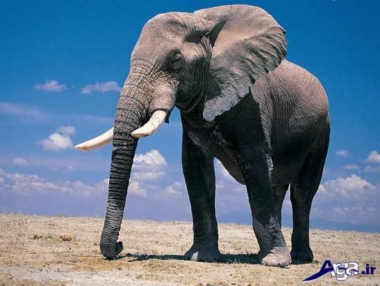 عکس زیبای فیل بزرگ