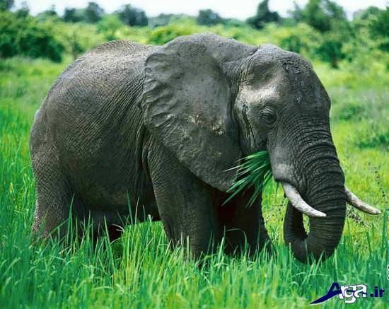 فیل در جنگل