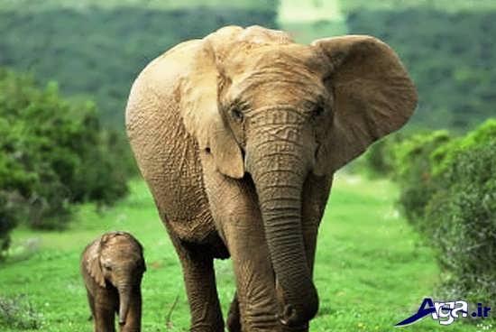 عکس زیبای فیل