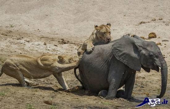 عکس های فیل در جنگل