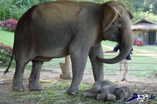 فیل آسیایی