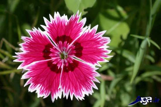 عکس بسیار زیبای گل رز