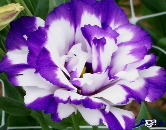 عکس های زیبا و خاص گل رز