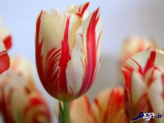 عکس گل لاله فوق العاده زیبا