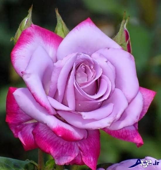 عکس زیباترین گل ها