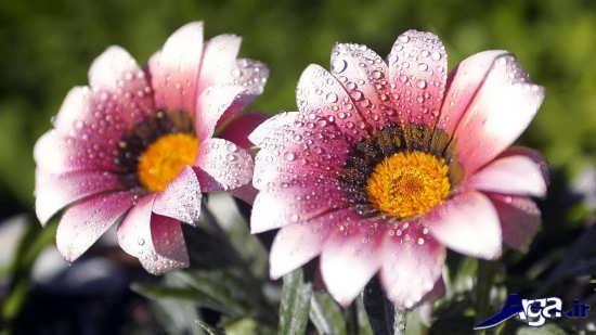 عکس گل های بسیار زیبا و جذاب