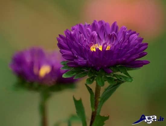عکس گل زیبا و خاص طبیعی