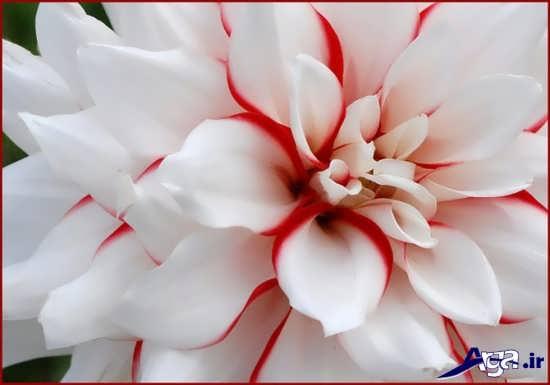 گل ارکیده زیبا و جذاب