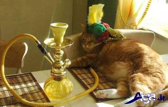 عکس های خنده دار گربه پادشاه