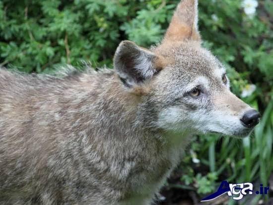 عکس روباه حیوان وحشی