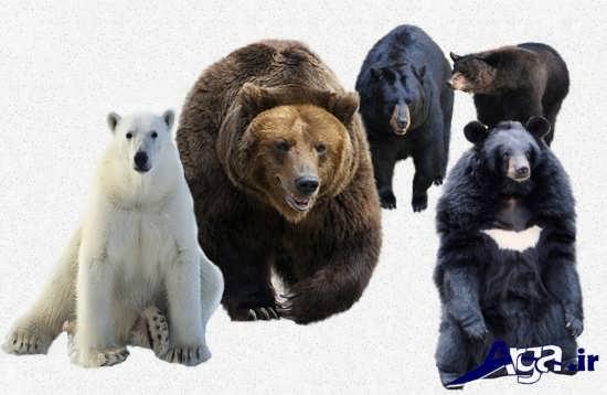 عکس حیوانات وحشی خرس های مختلف