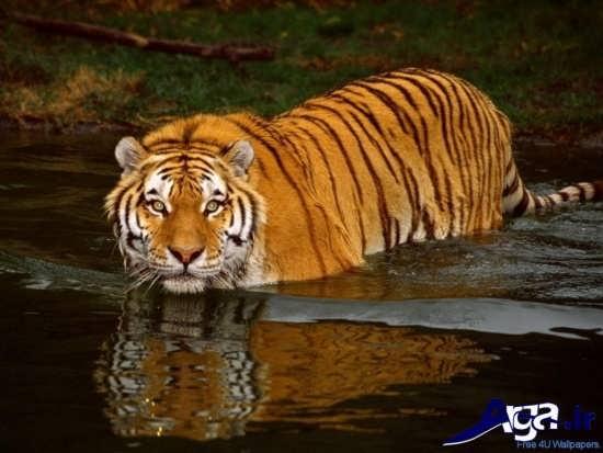 عکس پلنگ حیوان وحشی