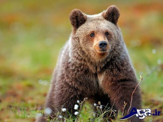 عکس خرس یکی از حیوانات وحشی جنگل
