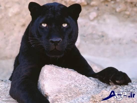 عکس از حیوان وحشی ببر