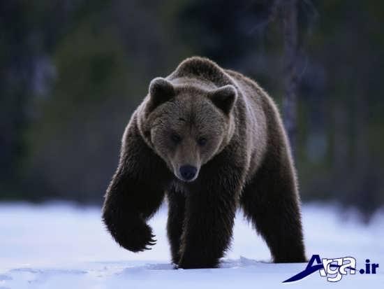 عکس از حیوان وحشی خرس