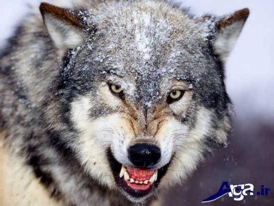 عکس از گرگ حیوان وحشی