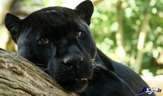 تصاویر پلنگ سیاه