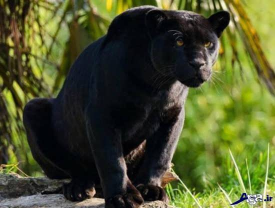 عکس زیبای پلنگ سیاه